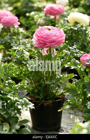 Potted pretty fresh pink buttercup or Ranunculus in a plastic flowerpot for sale at a nursery - Stock Photo