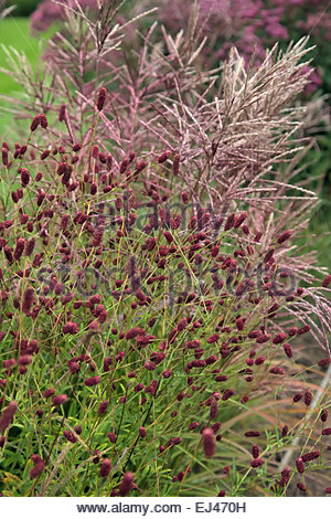 sanguisorba officinalis red thunder stock photo royalty. Black Bedroom Furniture Sets. Home Design Ideas