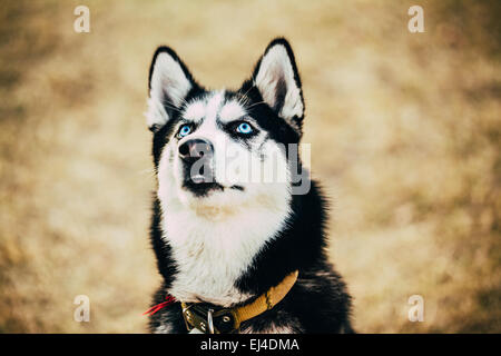 Close Up Young Happy Husky Puppy Eskimo Dog Looking Up Outdoor In Autumn - Stock Photo