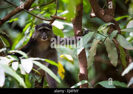 Portrait of a Blue Monkey face in Lake Manyara National Park, Tanzania - Stock Photo
