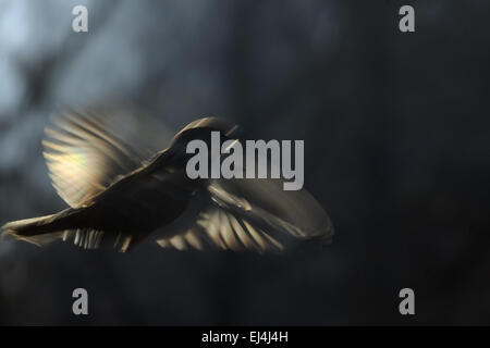 Flying blurred Tree Sparrow - Stock Photo