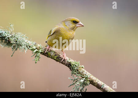 Greenfinch Carduelis chloris on lichen covered branch in winter - Stock Photo