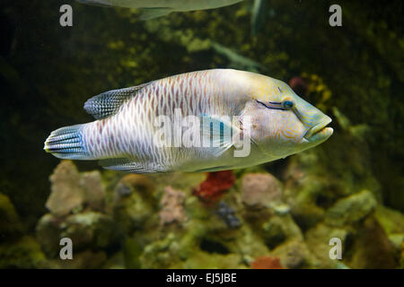 Humphead Wrasse, or Napoleon Wrasse. Scientific name: Cheilinus undulatus. Vinpearl Land Aquarium, Phu Quoc, Vietnam. - Stock Photo