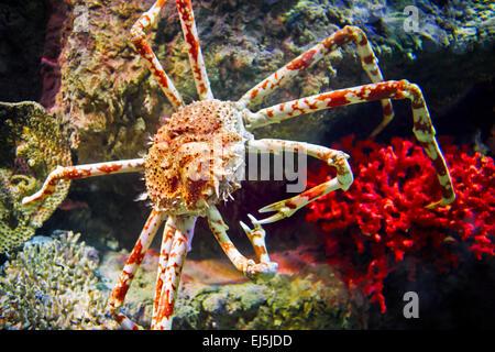 Japanese spider crab. Scientific name: Macrocheira kaemferi. Vinpearl Land Aquarium, Phu Quoc, Vietnam. - Stock Photo