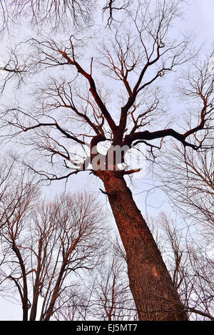 Tree trunk and crown of branches without leaves on a background of the spring sky - Stock Photo