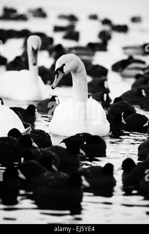 White swans on a lake, around many coots. - Stock Photo