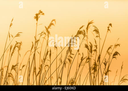 Reed in backlight in morning light - Stock Photo