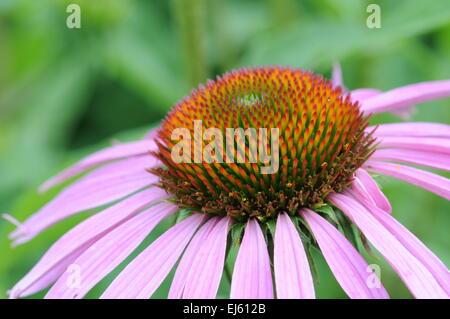 Macro shot of the pink flower (echinacea) - Stock Photo
