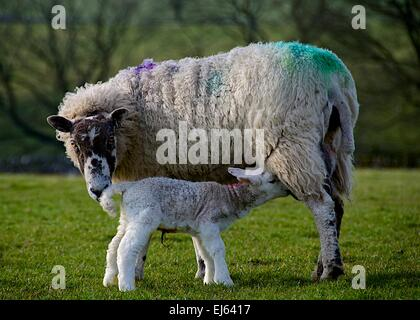 A ewe feeds her newborn lamb after giving birth in spring in North Yorkshire, Yorkshire Dales. - Stock Photo