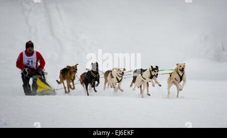Dogs and musher during sleddog speed racing. - Stock Photo