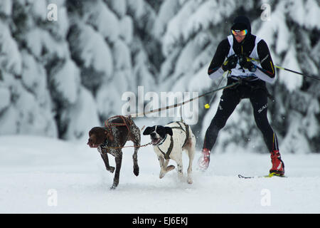 Two dogs and unidentified musher during sleddog speed racing. - Stock Photo