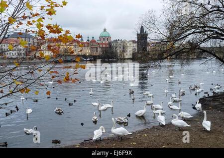 Swans at the Vltava river. Prague, Czech Republic - Stock Photo