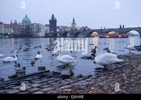 Swans at the Vltava river at dusk. Prague, Czech Republic - Stock Photo