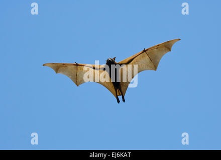 Little red flying fox (Pteropus scapulatus), Northern Territory, NT, Australia. This species occurs in northern, - Stock Photo