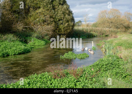 Watercress growing naturally in the River Test, Stockbridge, Hampshire, England - Stock Photo