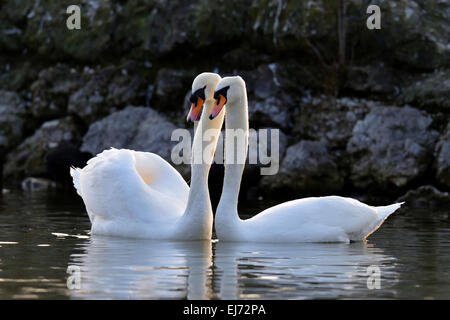 Mute swan (Cygnus olor) pair, courtship, Zug, Canton of Zug, Switzerland - Stock Photo