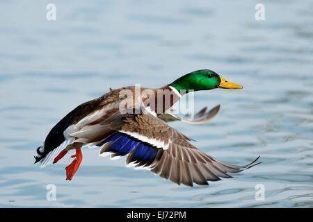 Mallard (Anas platyrhynchos) male in flight, Zugerseee, Switzerland - Stock Photo
