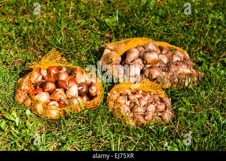 flower bulbs in the garden - Stock Photo