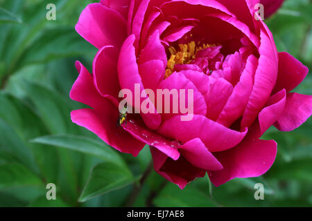 Bright pink peony flower with small green bug on a petal - Stock Photo