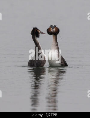 A pair of Great Crested Grebes participating in their courtship dance where they rear up with weed in their beaks - Stock Photo