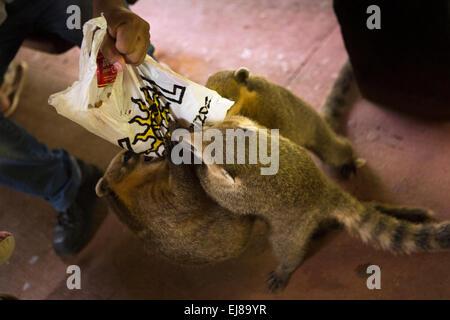 Argentina, Iguazu, Falls National Park, coatis tearing apart visitors bag to get biscuits - Stock Photo
