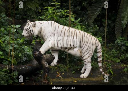 White tiger walking - Stock Photo