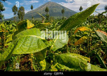 Tobacco growing in Kledung, Temanggung regency, Central Java, Indonesia. - Stock Photo