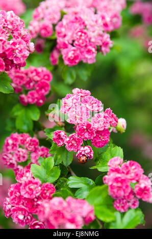 Blossoming hawthorn with ladybug, close-up - Stock Photo