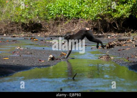 Sulawesi black-crested macaque (Macaca nigra) leaps across waterway  in Tangkoko Duasudara Nature Reserve. - Stock Photo