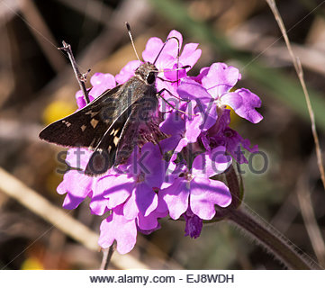White-barred Skipper Atrytonopsis pittacus  Butterfly Arizona - Stock Photo