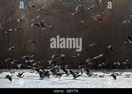 Grey-lag Geese, Anser anser, Bavaria, Germany - Stock Photo