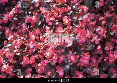Begonia flowering plant - Stock Photo