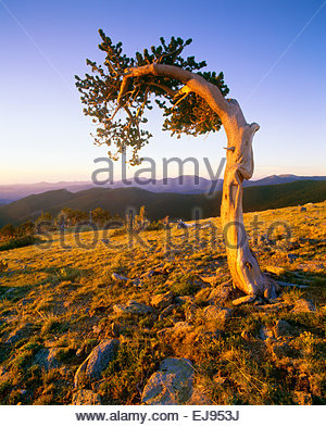 Ancient bristlecone pine on slope of Mt. Evans at Mt. Goliath Natural Area.  Arapaho National Forest, Colorado. - Stock Photo
