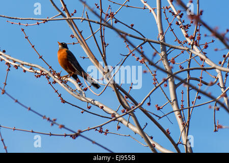 A robin perches on a budding treetop branch and sings in early spring. - Stock Photo