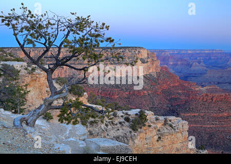 Tree and canyon rock formations from Yavapai Point, Grand Canyon National Park, Arizona USA - Stock Photo