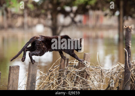 2015 flooding in Brazilian Amazon, wet cat tries to escape from flooding by walking on top of fence in Rio Branco - Stock Photo