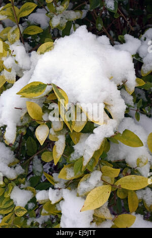 Fresh snow collecting on the leaves of a variegated Japanese privet hedge, Ligustrum japonicum - Stock Photo