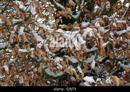Freshly fallen snow on dry brown leaves of a beech hedge in winter, Berkshire, February - Stock Photo