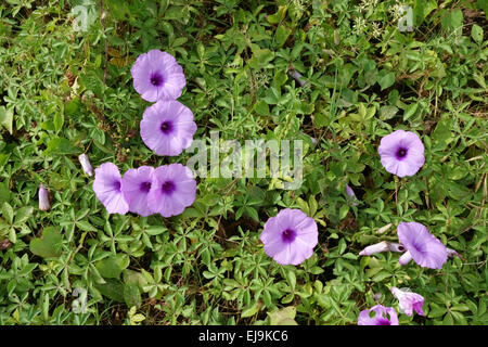Flowers of beach morning glory, Ipomoea pes-caprae, flowers among other creeping plants on a beach in Thailand, - Stock Photo
