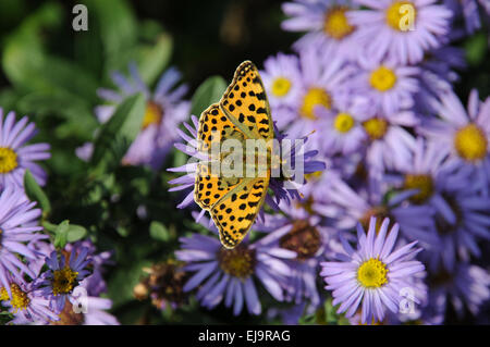 New York aster with silver washed fritillary - Stock Photo