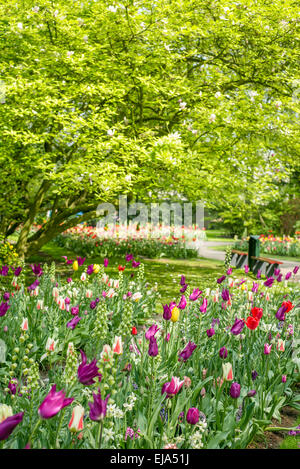 Bedding of colorful spring flowers, Colorful bedded spring flower arrangement in a park with pink, red and purple - Stock Photo