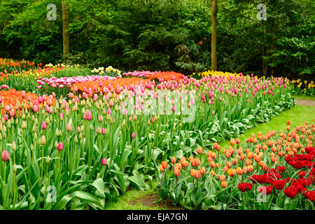 Bedding of colorful spring flowers, Colorful bedded spring flower arrangement with pink magenta tulips (Tulipa) - Stock Photo