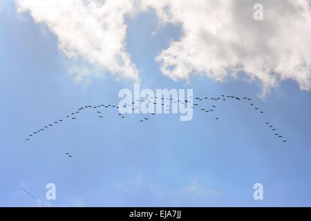 Common Crane flock in migration