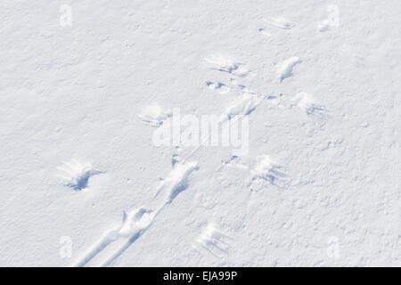 Rock Ptarmigan tracks in snow, Lapland, Sweden