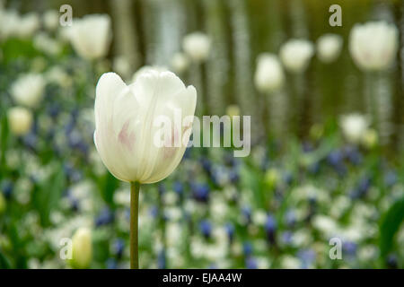 Singled out white tulip (Tulipa) in front of colorful bedded spring flower arrangement - Stock Photo