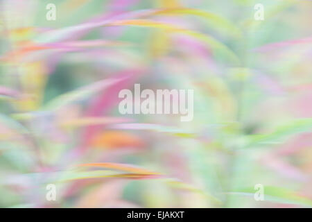 Fireweed, wiping effect, Lapland, Sweden - Stock Photo