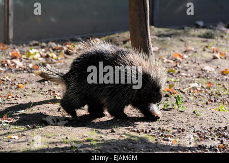 Porcupines in search of food - Stock Photo