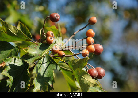 Wild service tree - Stock Photo