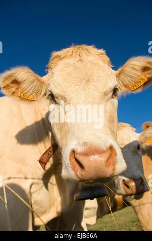 FACE OF COW IN PASTURE FAVEROLLES CANTAL AUVERGNE FRANCE