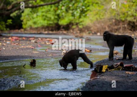Sulawesi black-crested macaque (Macaca nigra) drinks at a waterway in Tangkoko Duasudara Nature Reserve. - Stock Photo